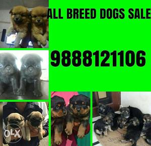 All Breed dogs sale and purchase in jalandhar city