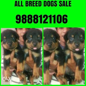 All breed pets available in jalandhar all breed