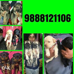All pets available in jalandhar imports dogs sale