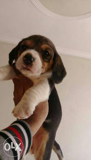 Beagle puppies in tri and bi colour available.