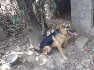 Germen Shepherd dog on low cost