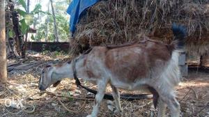 Goat with smart 2 kids one and half month age I
