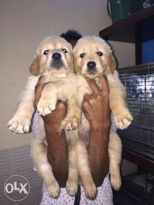 Golden retriever puppies male and female puppies