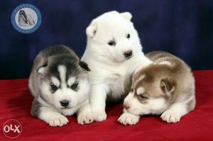 Import linage top combination pups available with