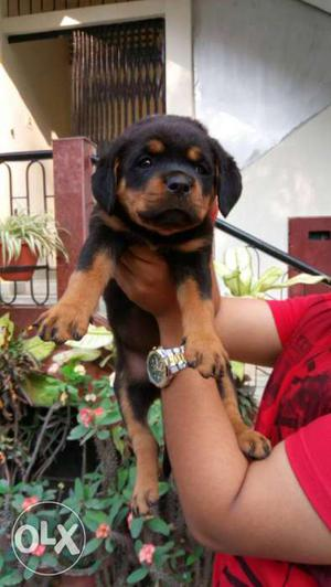 Import lineage Rottweiler puppy male nd female