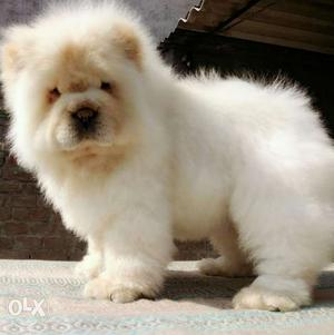 Import lineage chow chow puppy available ready