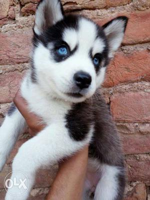 Looking to buy a blue eye husky at around 30 k