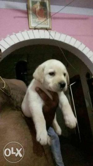 Show quality Labrador puppies available