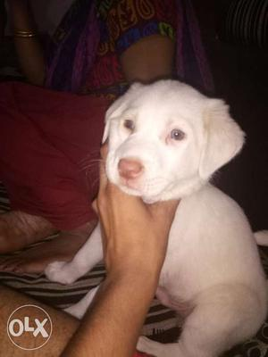 Urgent Pure Labradors male for sale in very low
