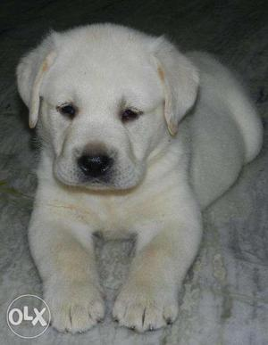 White Lab Male Pup With Kci Registered. Heavy Bone, Short