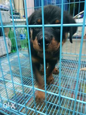 106 show quality rottweiler puppies for sale,