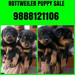 All breed pets available Rottweiler labrador