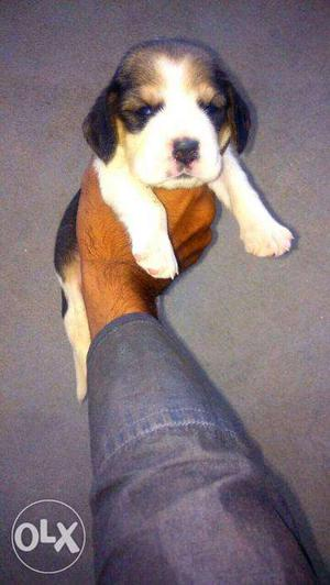 Beagle puppies available in mr. dog jaipur