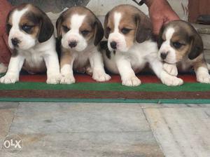Four Tricolor Beagle Puppies