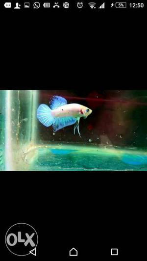 Imported betta fish available
