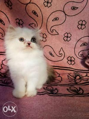 Persian cat top quality kittens available