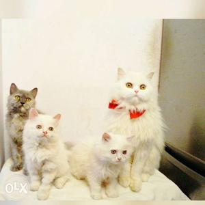 Persian kittens available... call us for best