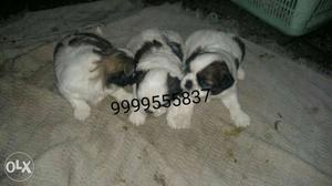 Pure breed Shihtzu male female puppies available