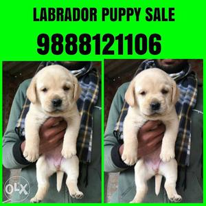 Show quality labrador puppy available in
