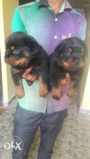 35 days old good quality Rottweiler pupps