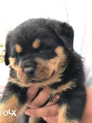 47 days old rottweiler puppies available for sell