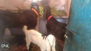 Nasi ablaq goat   Posot Class