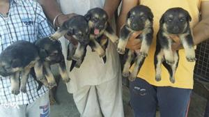 All Breed dogs sale and purchase In very low price