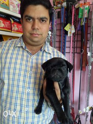 Black colour pug female pup for sale