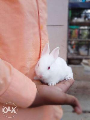 Cute pet Rabbits for sale at affordable prices