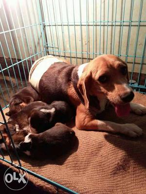 Excellent show quality beagle puppy for sale..