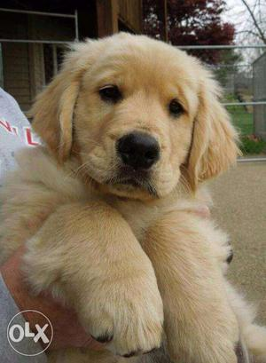 Golden retriever Puppies all over india delivery for sell