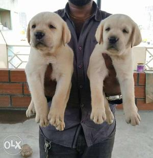 Gud size labrador pups available for sale