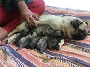 Heavy boned cute pug pups for sale...pups will be