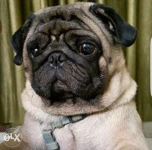 Male PUG available for Mating in Vikasnagar Lucknow