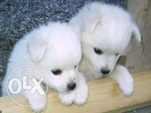 New born male pomerian puppy for sales,negotiable