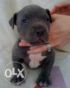 Pets kennel:-American pittbul most champion lineage quality