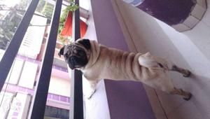 Pug male available for mating perfect result