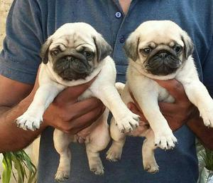 Pug puppy available for show home.