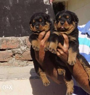 Rottweiler healthy pups available contact soon no in add