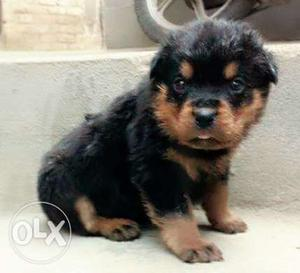 Rottweiler puppies available all breeds dog