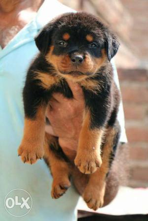 Rottweiler puppies available in delhi near saket metro