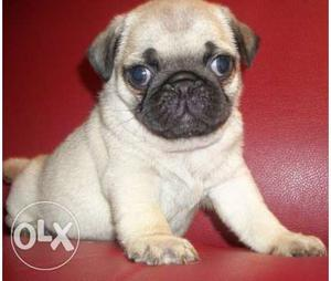 Show Quality Pug Puppy For Sales In Chennai