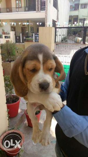 Show quality Beagle Puppy available. l