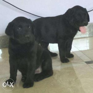 Show quality Labrador puppy for sale