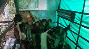 Sirohi goat 2nos 50 days pregnant 1 goat fast