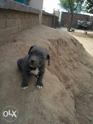Thailand Import american bully grand daughter of