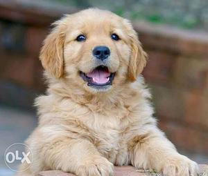 Top line quality golden retriever puppies avable pure breed