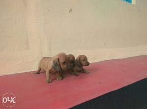 Top quality miniature dachshund puppies available