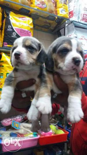Two Tricolor Beagle Puppies