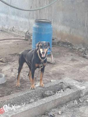 2 doberman female dogs ready for heat full active